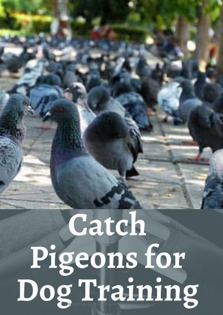 How to Catch Pigeons for Dog Training-min